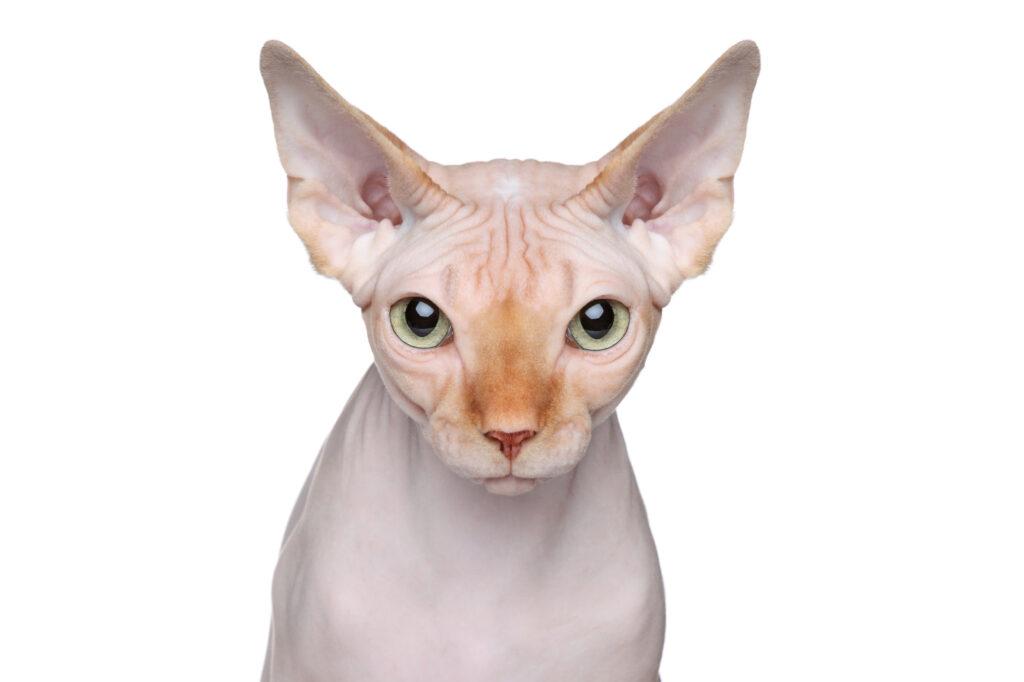Portrét kočky Sphynx