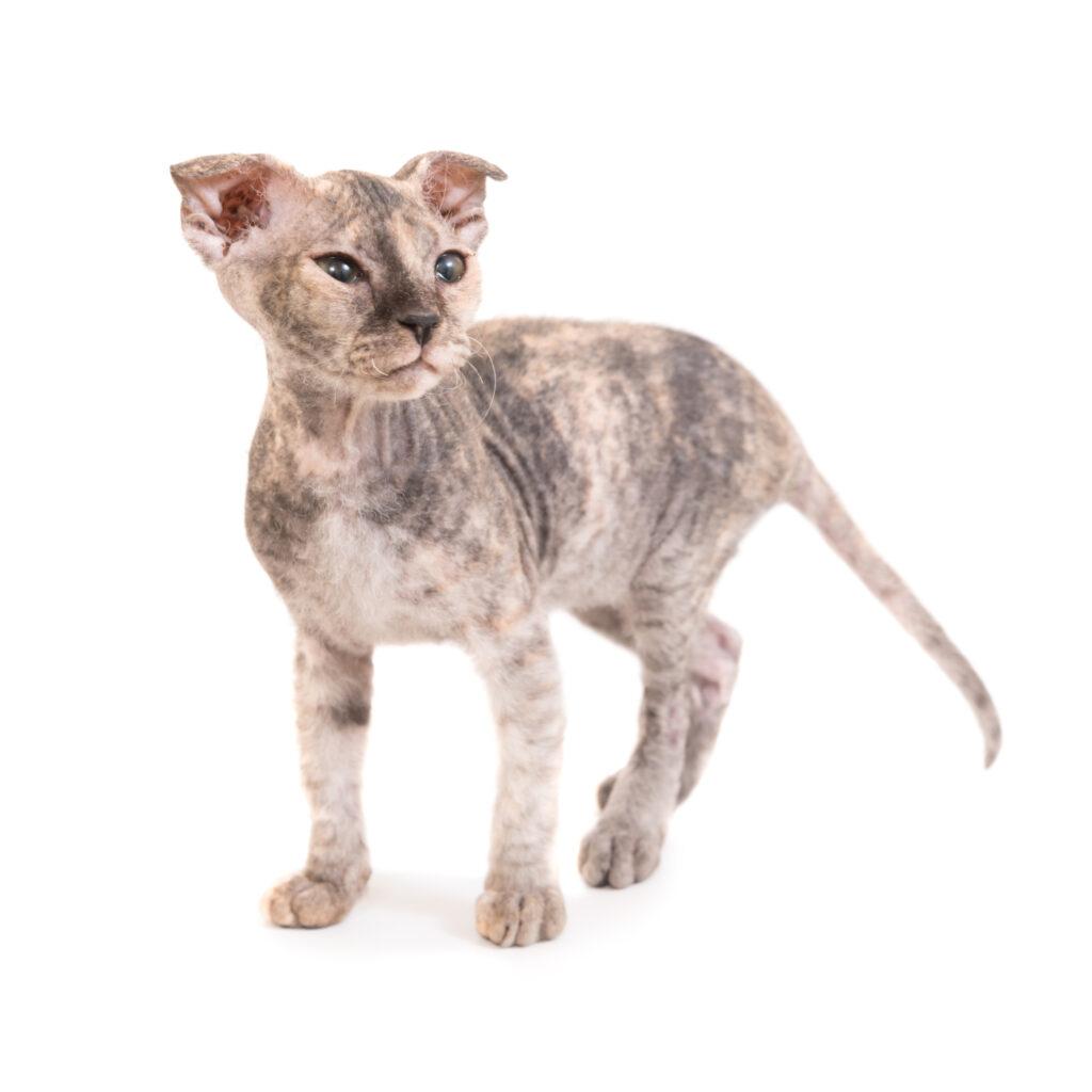 sphynx kotě