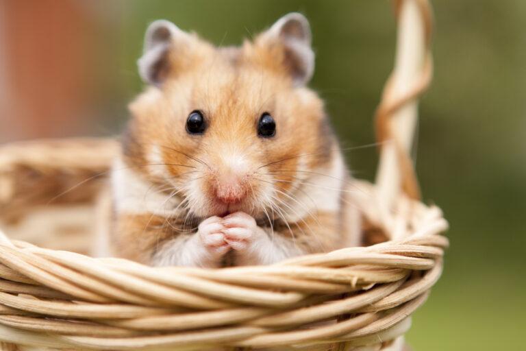 Malý křeček v proutěném košíku