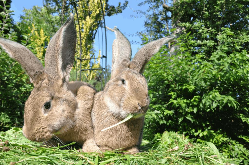 dva obří králíci v zahradě