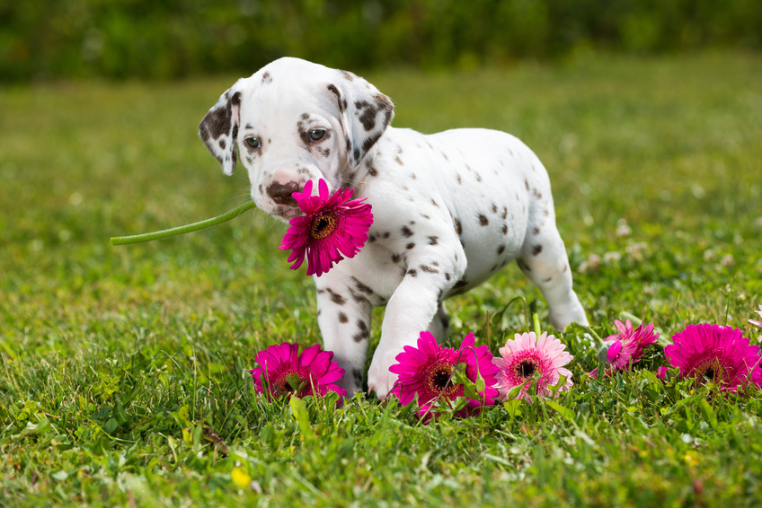 Štěně Dalmatina s květem v tlamě