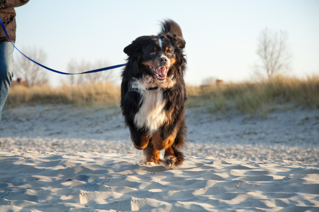 Bernský salašnický pes na pláži