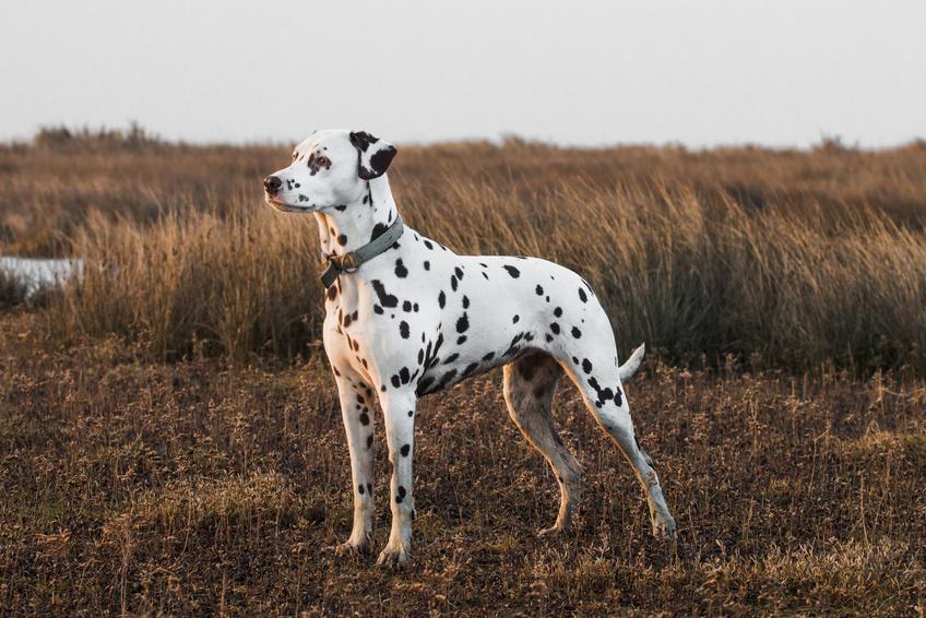 Dalmatin stojí na louce