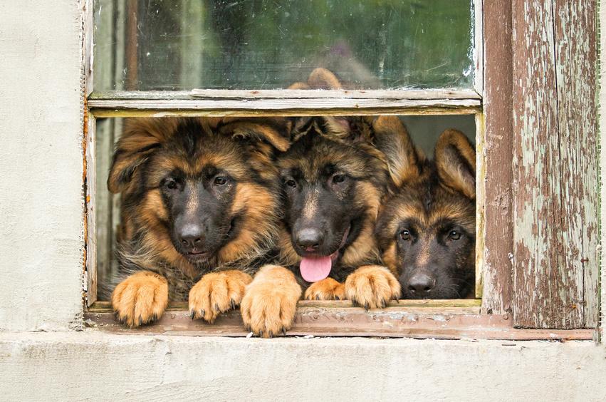 Tři Němeští ovčáci v okně
