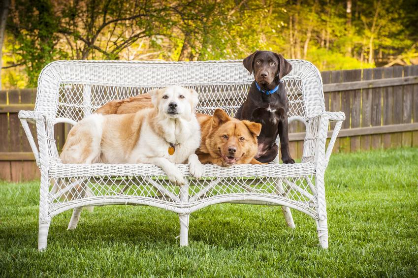 Tři psi pózují na zahradním kčesle
