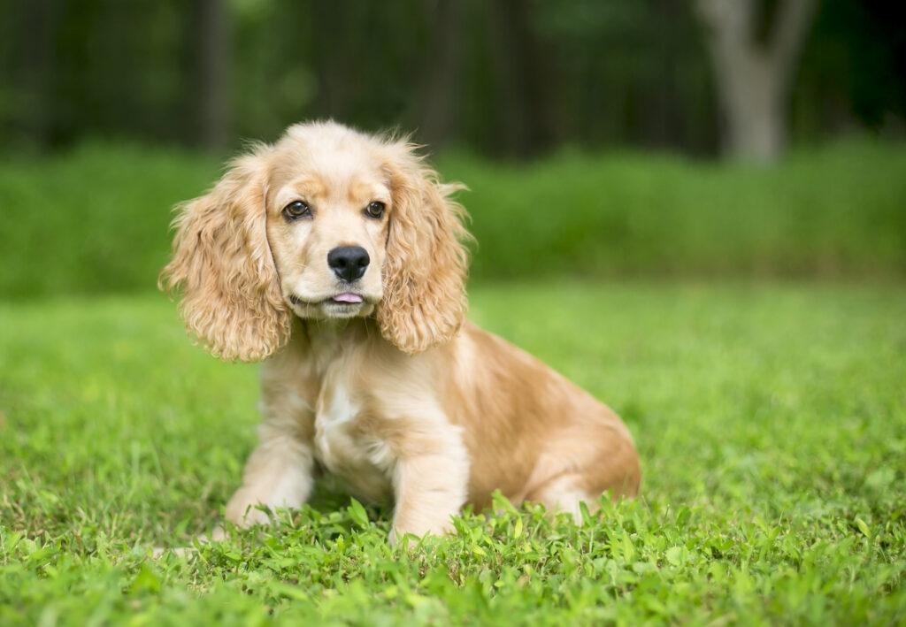 Anglický kokršpaněl štěně