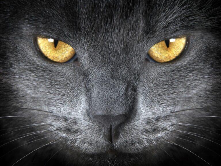 Oči Britské krátkosrsté kočky