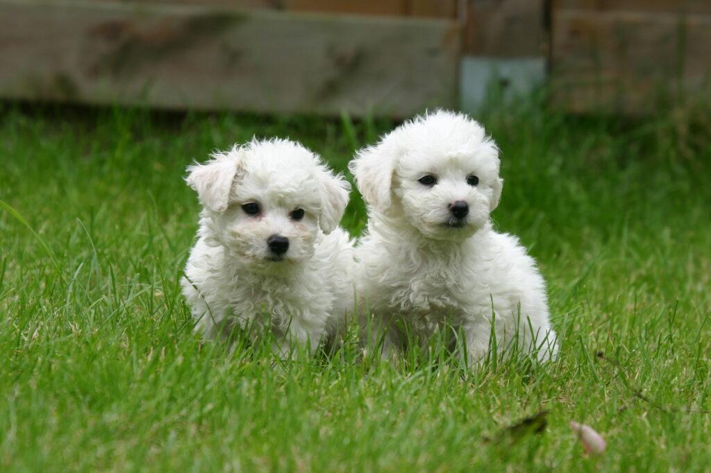 Dvě štěňata Bichon frisé v trávě