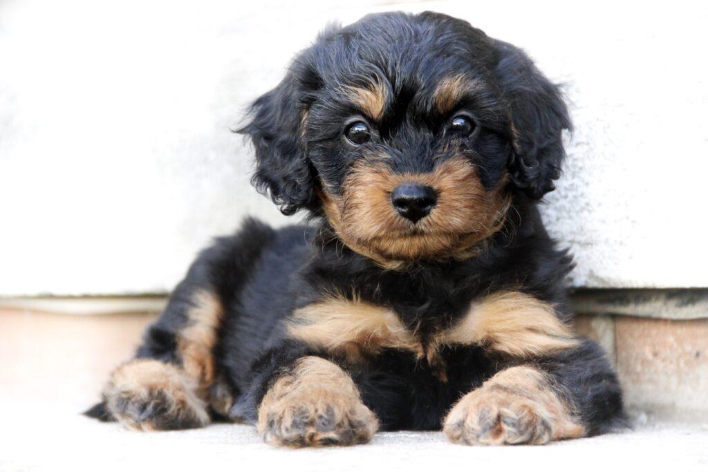 Cavapoo dvoubarevné štěně