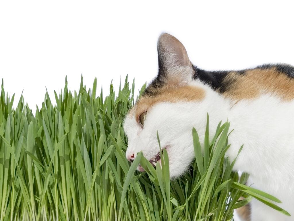 Kočka jí trávu