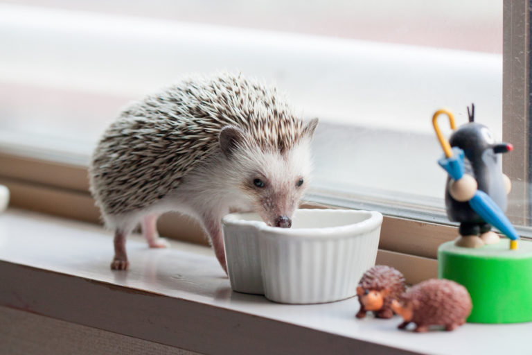 Čím krmit ježka bělobřichého?