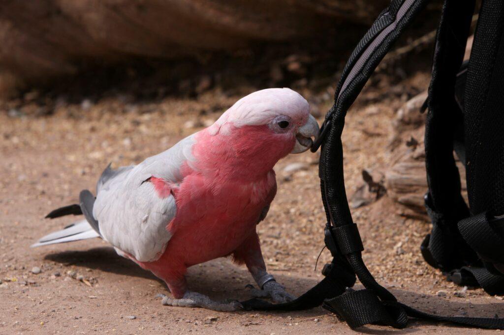 Růžový kakadu