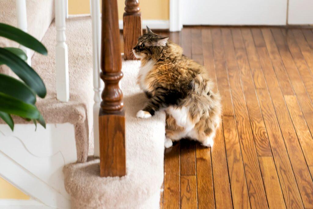 Chůze po schodech jako sport pro kočky