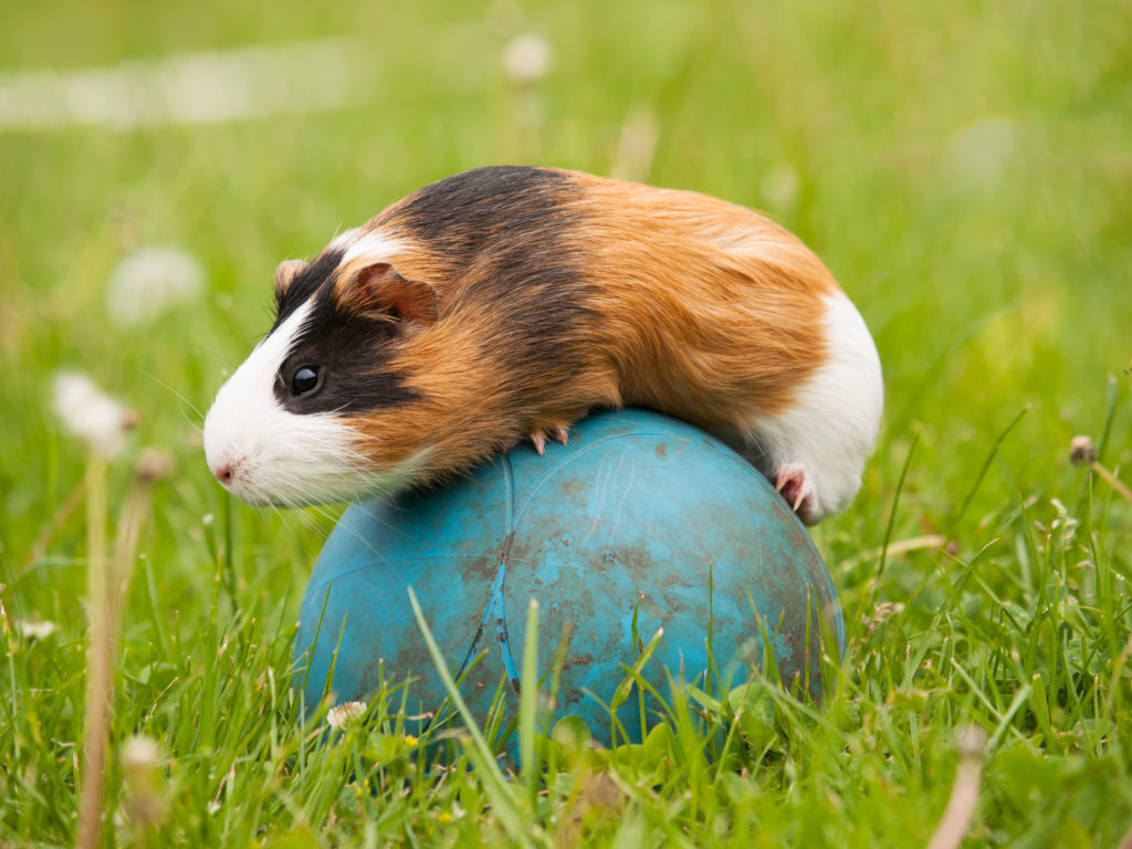 Agility pro malá zvířata – morče