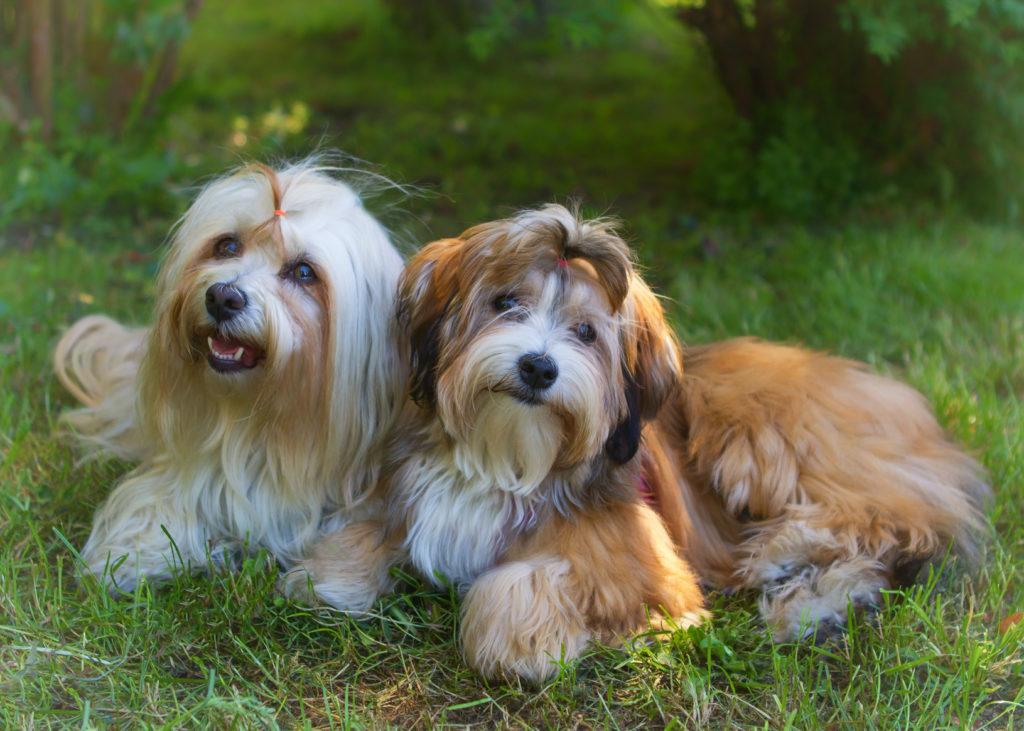 Havanský psík na zahradě
