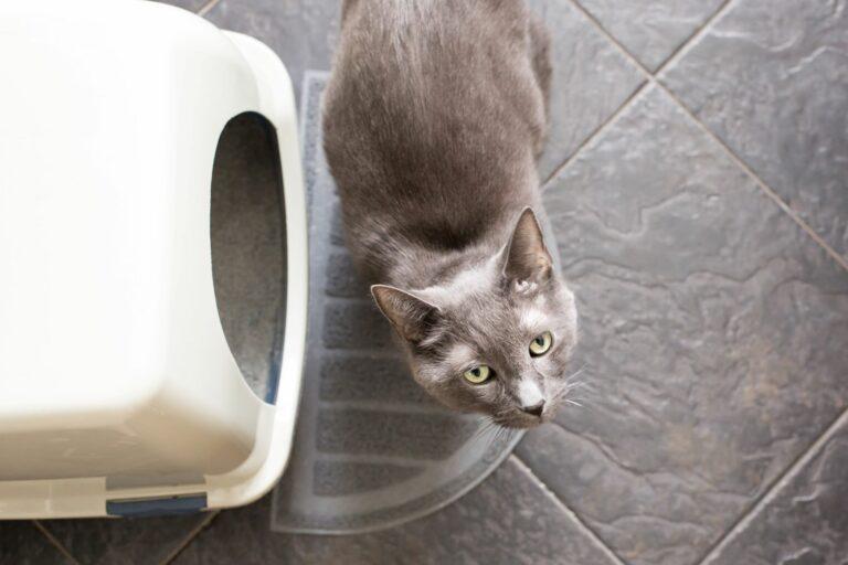 Kočka před toaletou pro kočky