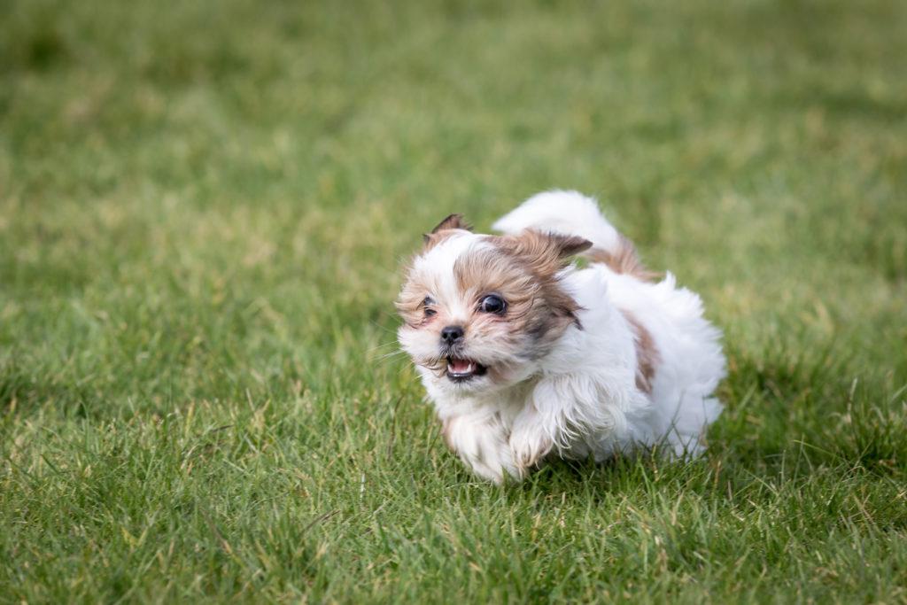 Shih-tzu štěně na trávníku