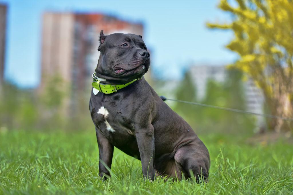 Bojová plemena psů: Americký buldog