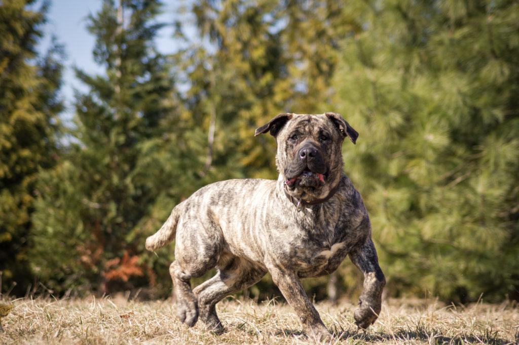 Bojová plemena psů: Kanárská doga