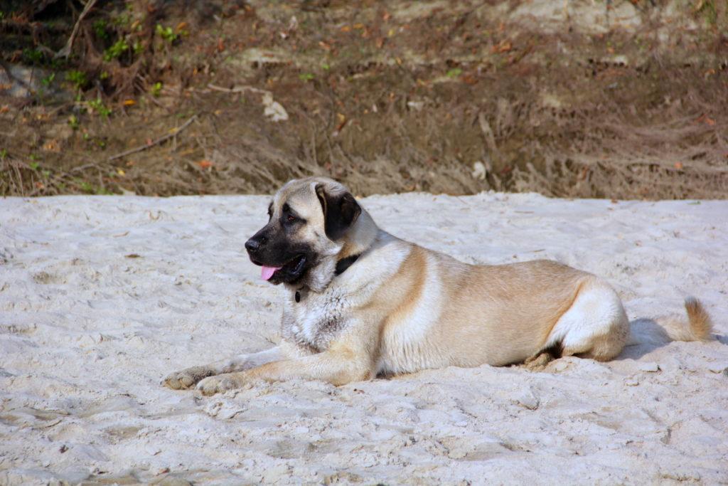 Kangal leží na pláži