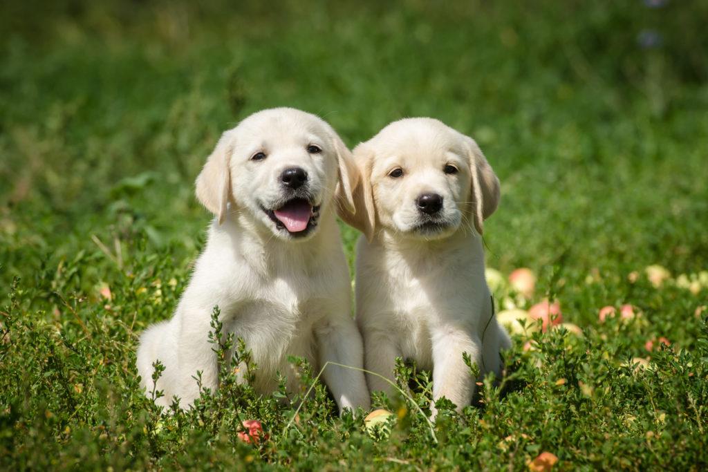 Labradorský retrívr – štěňata