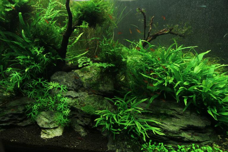 Řasy v akváriu