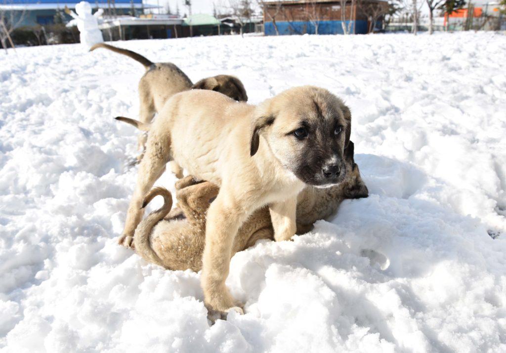 Štěňata kangala si hrají na sněhu