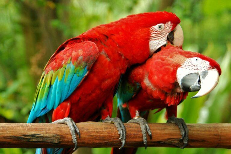 Červení papoušci ara