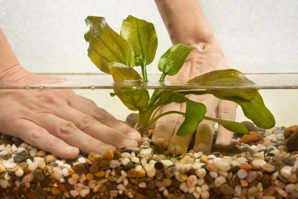 Sázení rostlinky do akvária