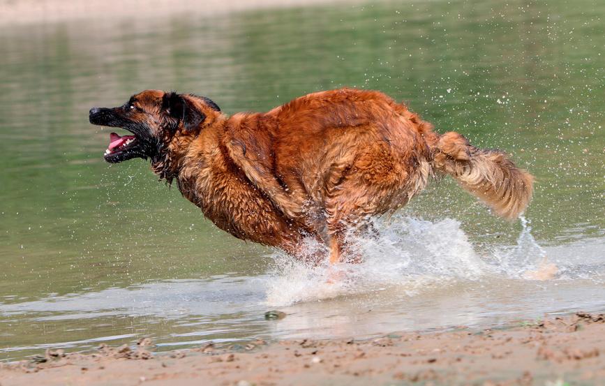 Leonberger běží ve vodě