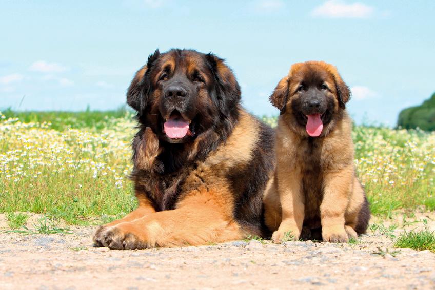 Leonberger – matka a štěně