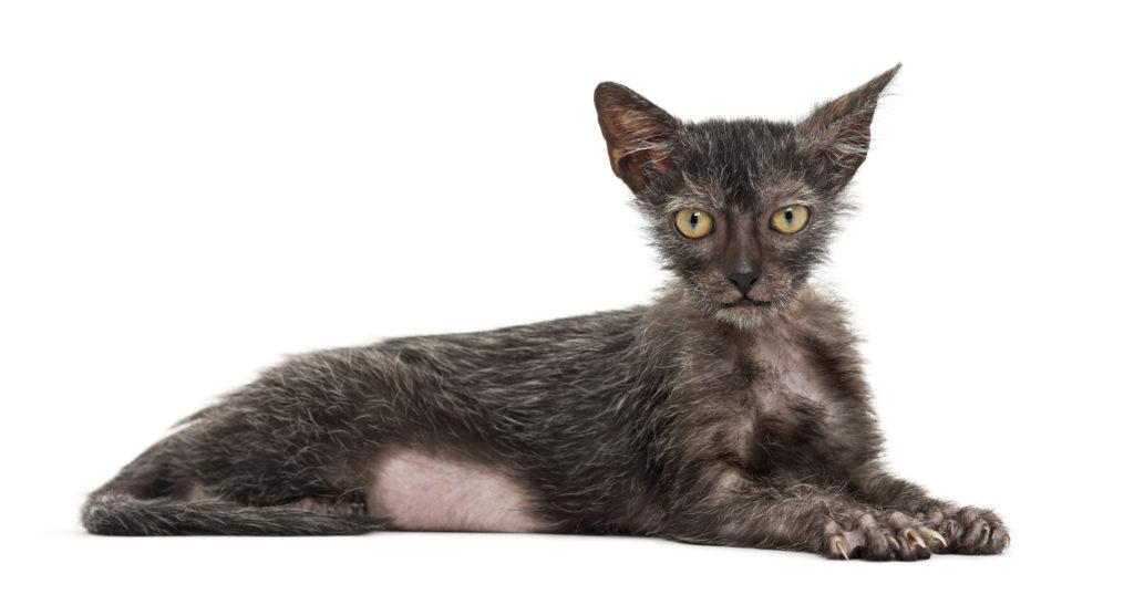 Ležící lykoi (kočka vlkodlak)