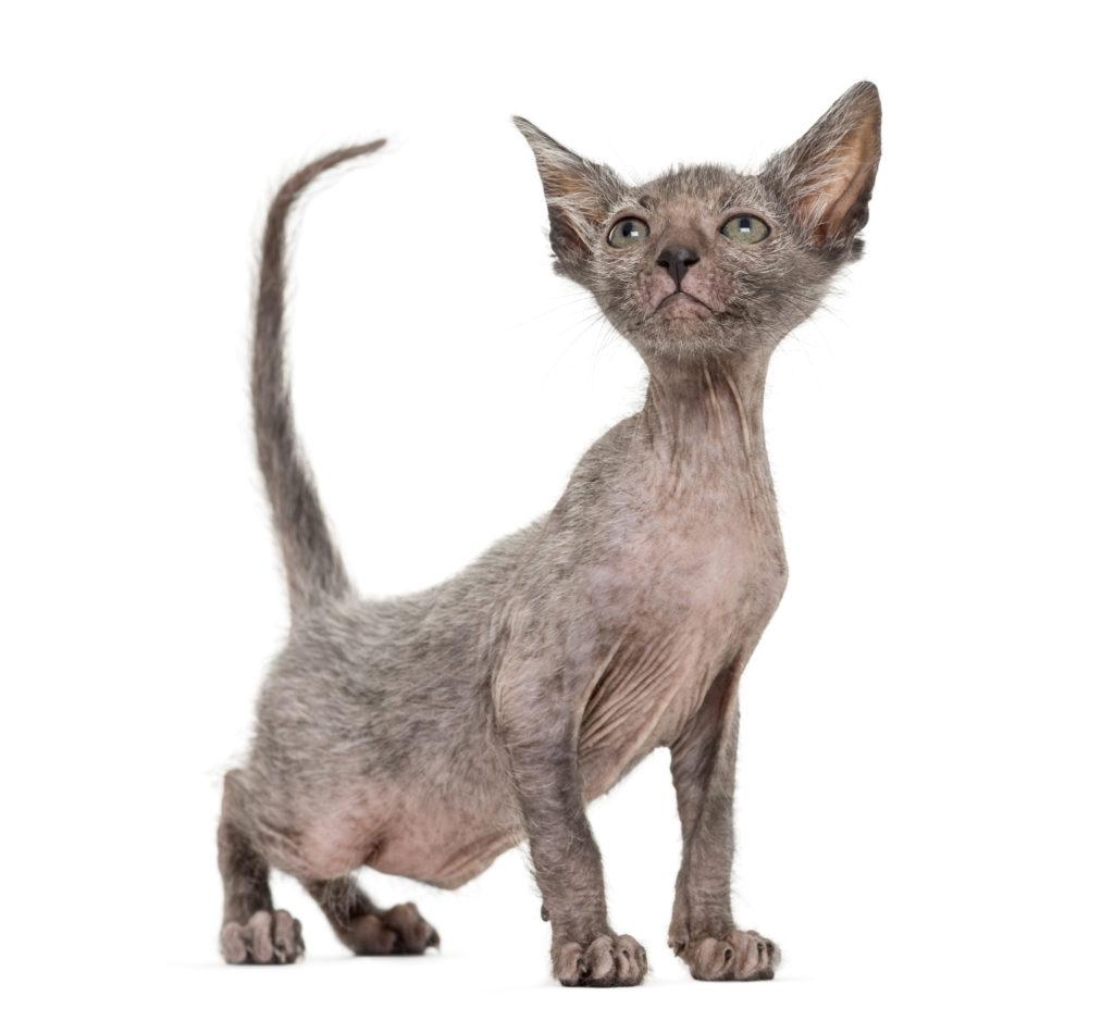 Lykoi (kočka vlkodlak) – kotě