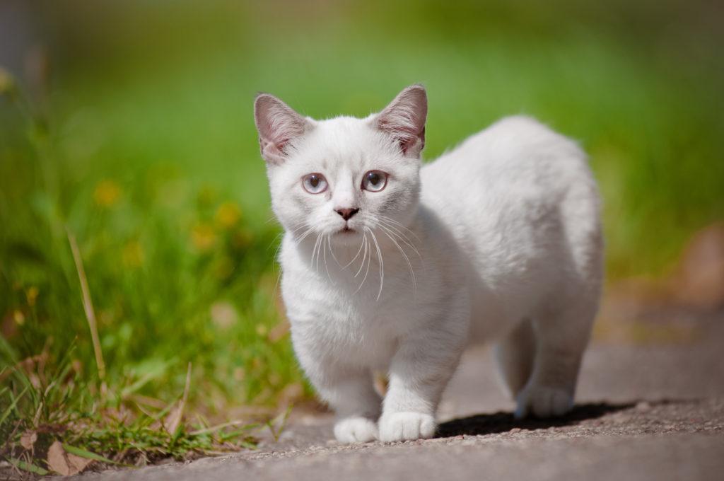 Munchkin – bílá kočka